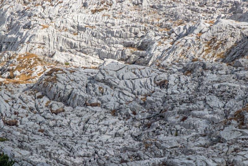 Un gregge dello stambecco alpino fotografia stock