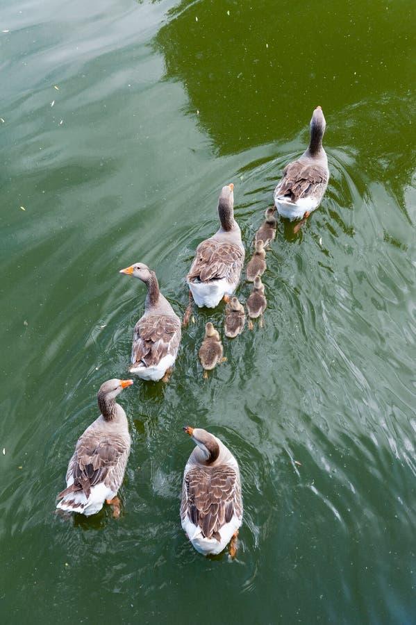 Un gregge di oca galleggia sul fiume, vista dall'alto fotografia stock