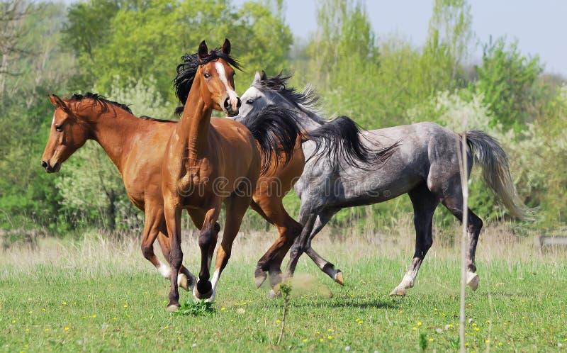 Un gregge di tre cavalli arabi che giocano sul pascolo fotografie stock libere da diritti