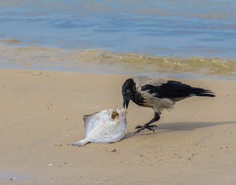 Un gris canta en la costa come pescados muertos foto de archivo