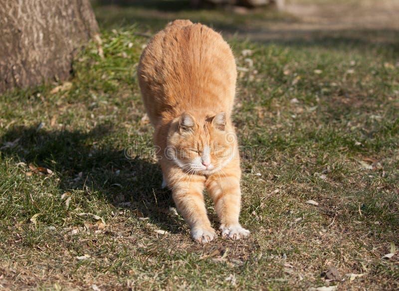 Un gros chat mignon récupèrent juste d'un petit somme photographie stock