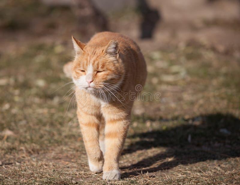Un gros chat mignon récupèrent juste d'un petit somme images stock