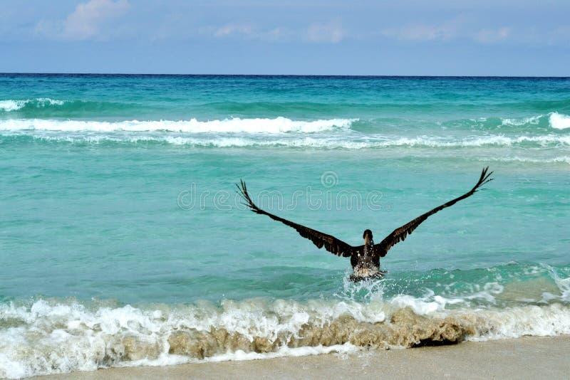Un grosso pellicano grigio sulla spiaggia sabbiosa di Varadero, Cuba immagine stock