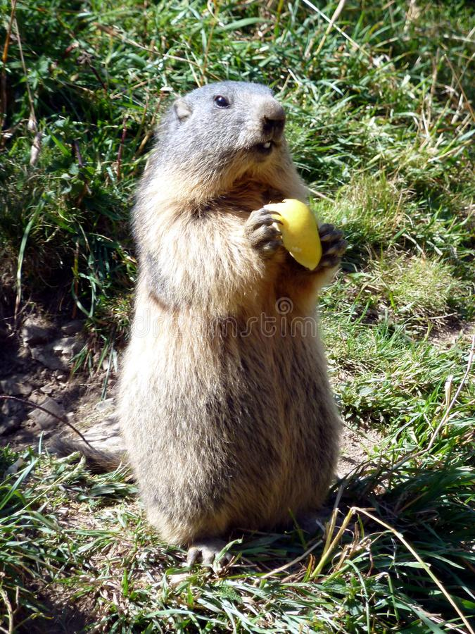 Un groundhog mangeant une pomme image stock
