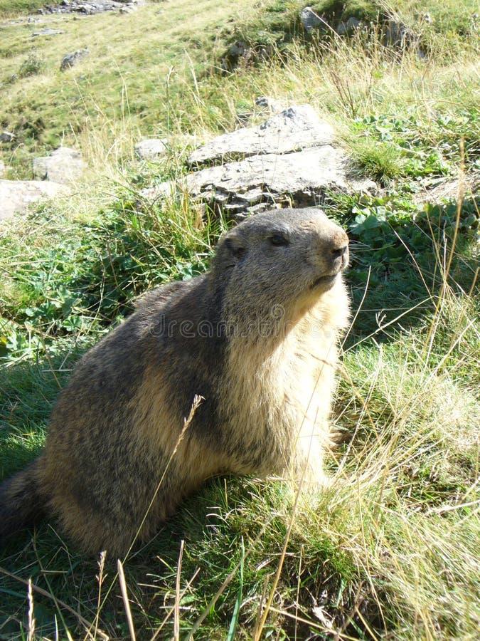 Un groundhog sur le devoir de garde dans les Alpes image stock