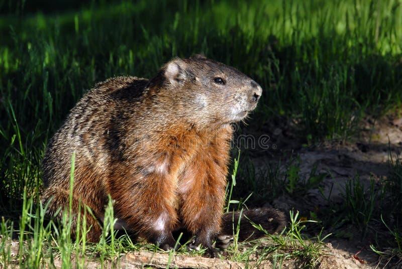 Un groundhog Toronto Ontario fotografia stock libera da diritti