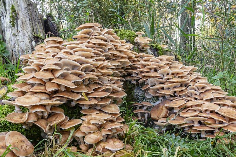 Un groupe énorme de champignons du miel Armillaria mellea sur un arbre mort, Zoetermeer, Pays-Bas image libre de droits