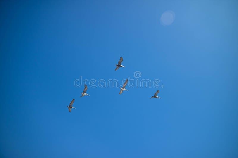 Un groupe apparent d'oiseaux a repéré la migration ensemble en île du sud d'aumônier, le Texas image stock