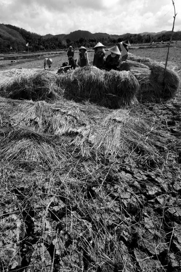 Un groupe d'agriculteurs moissonne les rizières images libres de droits
