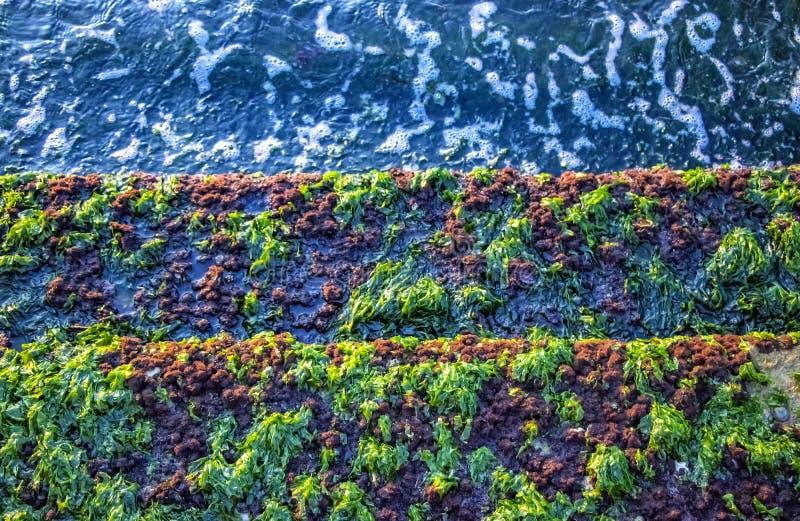 Un groupe d'algues de mer verte photographie stock libre de droits