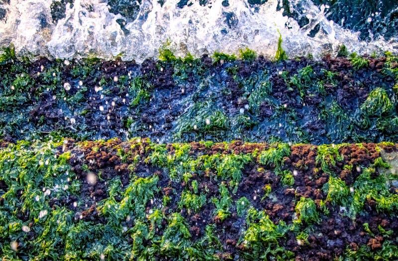 Un groupe d'algues de mer verte images stock