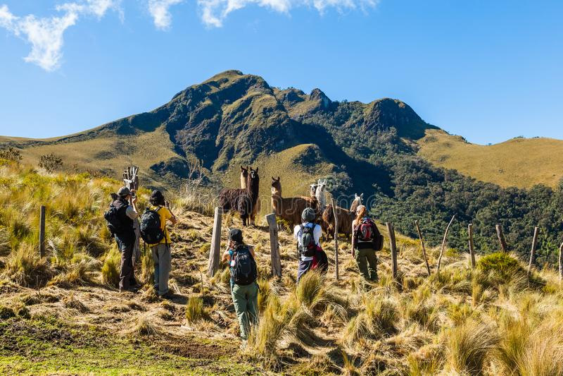 Un groupe d'alpinistes cessent de photographier un groupe de lamas photo stock