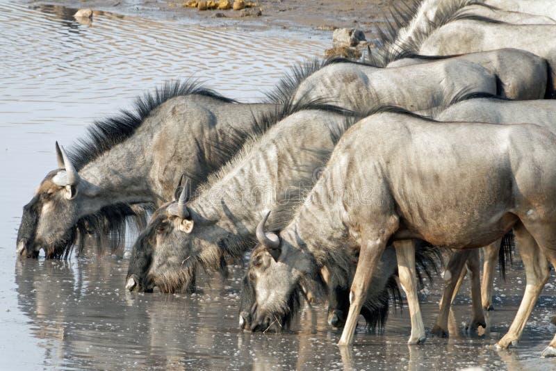 Un groupe d'eau potable de gnou au point d'eau, parc national d'Etosha, Namibie, Afrique photos stock