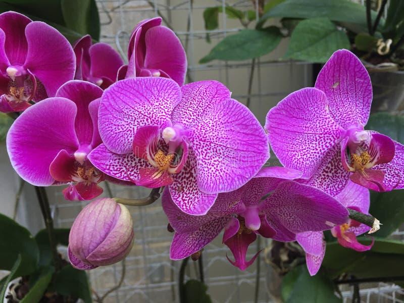 Un groupe d'orchidées roses lumineuses photos libres de droits