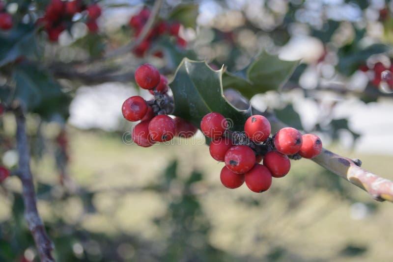 Un groupe de baies rouges image stock