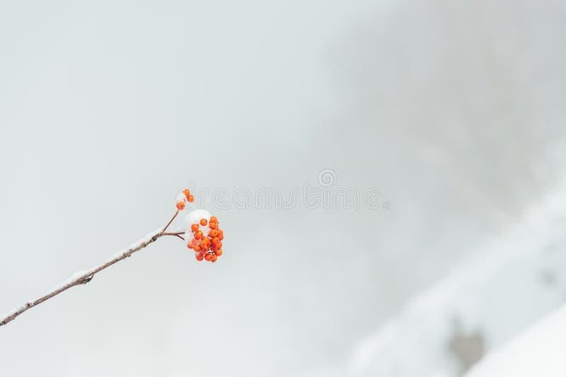 Un groupe de baies de sorbe sur une branche en hiver images libres de droits