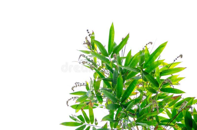 Un groupe de bambou part avec sa fleur sèche d'isolement sur le fond blanc image stock