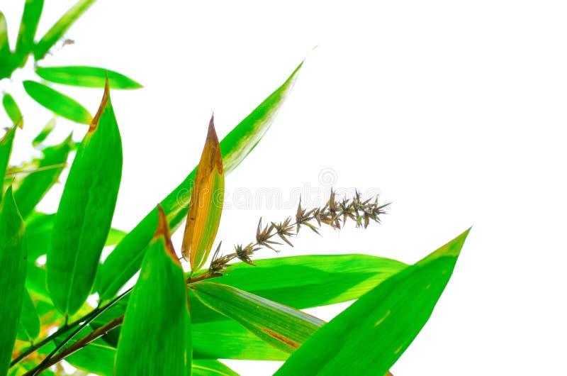 Un groupe de bambou part avec sa fleur sèche d'isolement sur le fond blanc photos stock