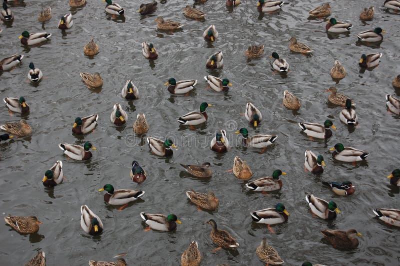 Un groupe de canards photographie stock libre de droits