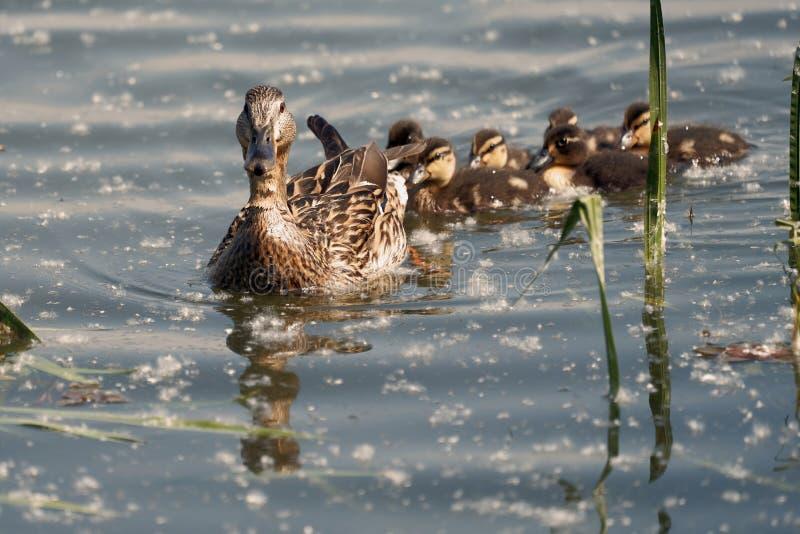 Un groupe de canetons de canard suivent leur mère dans le lac photo libre de droits