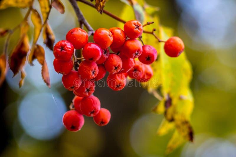 Un groupe de cendre de montagne rouge sur un arbre avec un background_ trouble images libres de droits