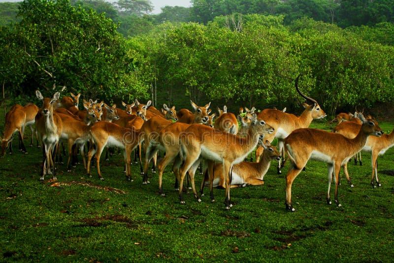 Un groupe de cerfs communs image stock