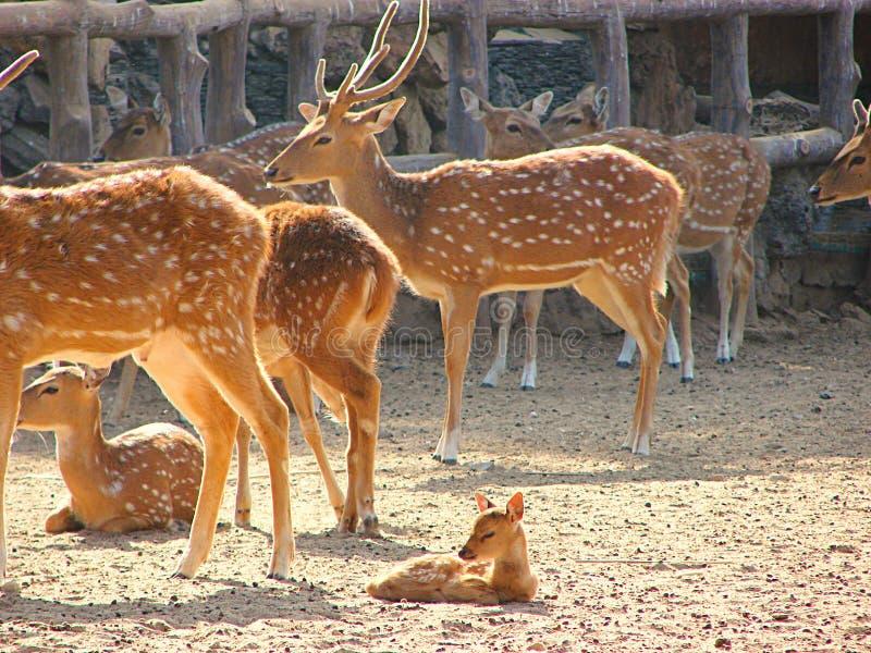 Un groupe de cerfs communs repérés Chital avec un faon et des jeunes dans le zoo, Jaipur, Ràjasthàn, Inde image libre de droits