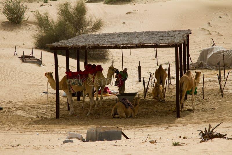 Un groupe de chameaux et un homme de manipulateur à côté d'un safari campent à Dubaï, EAU photographie stock libre de droits