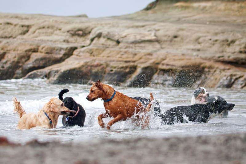 Un groupe de crabots jouant dans l'océan image libre de droits