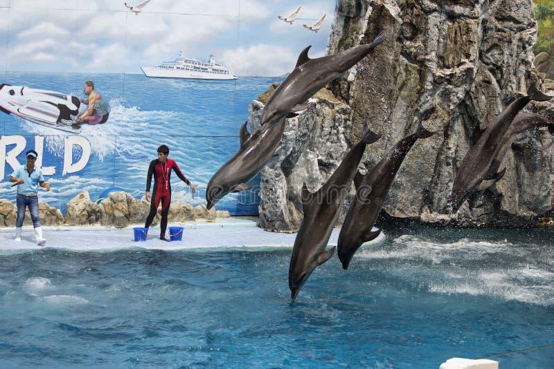 Un groupe de dauphins de bottlenose effectuent sauter image stock