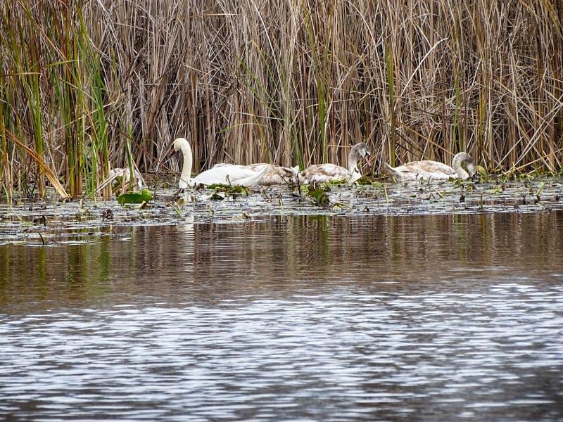 Un groupe de jeune natation de cygnes paisible dans l'eau photos stock