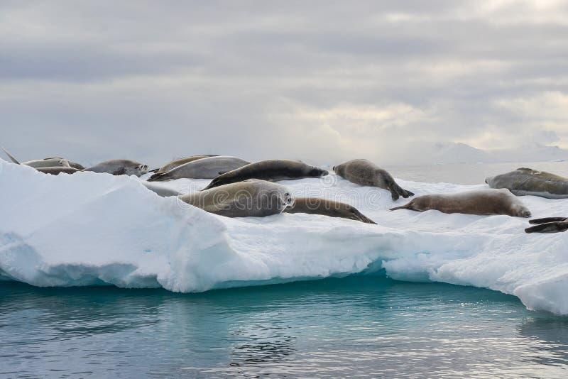 Un groupe de joints détendant sur un iceberg, avec un joint regardant autour pour voir ce qui continue image stock
