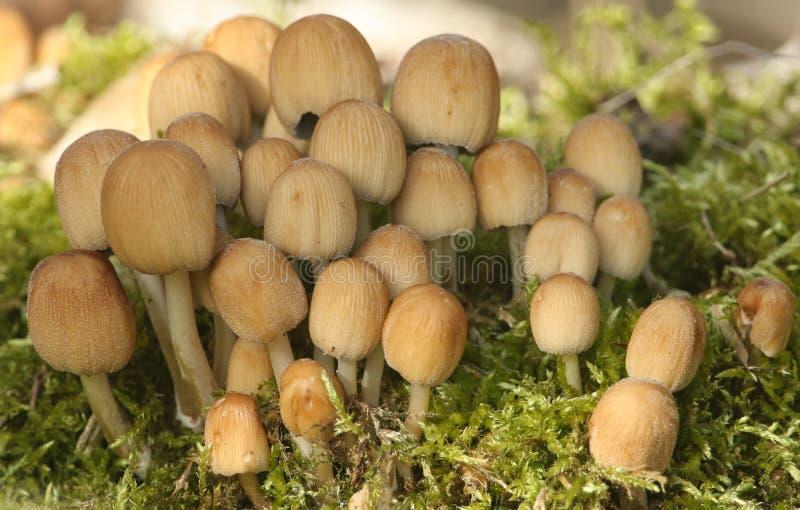 Un groupe de joli Inkcap de scintillement, micaceus de Coprinellus, champignon, cultivant cependant la mousse sur le plancher de  images libres de droits