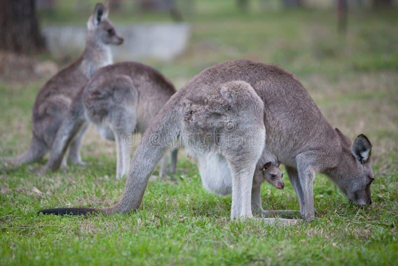 Kangourou et son joey photographie stock
