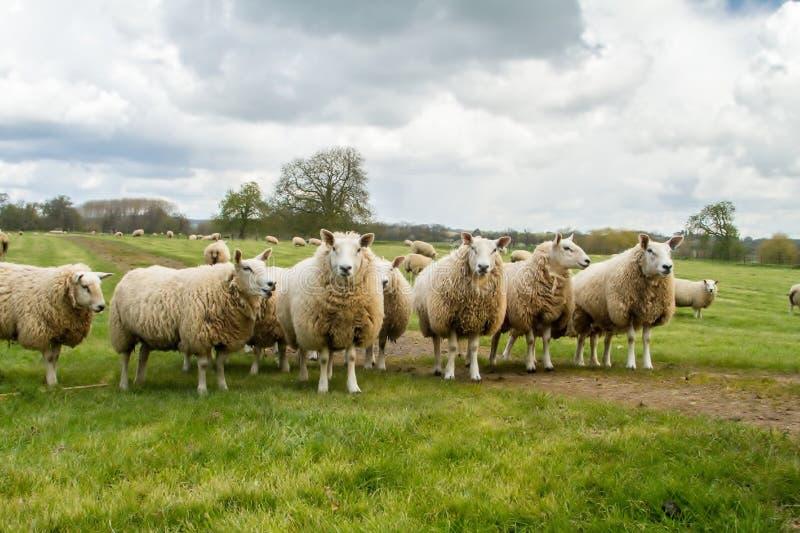 Un groupe de moutons anglais blancs dans un domaine images stock