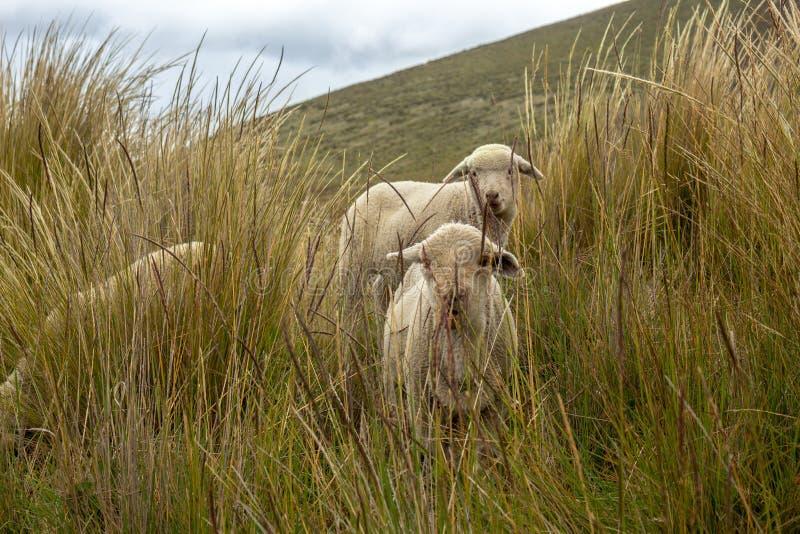 Un groupe de moutons frôle et marche par le champ images stock