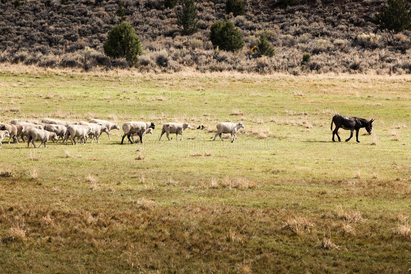 Un groupe de moutons suivant un âne en tant que chef photos stock