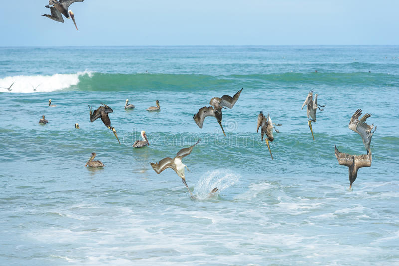 Un groupe de pélicans plongeant pour des poissons image libre de droits