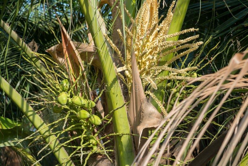 Un groupe de petits fruits et inflorescence verts crus de noix de coco de bébé photographie stock