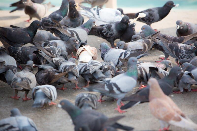 Un groupe de pigeons pigeons sauvages affamés image libre de droits