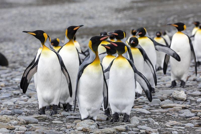 Un groupe de pingouins de roi court plus de le Pebble Beach sur la baie de Fortuna, la Géorgie du sud, Antarctique images stock