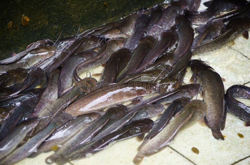 Un groupe de poisson-chat d'eau douce aérobie asiatique dans l'étang sans eau images libres de droits