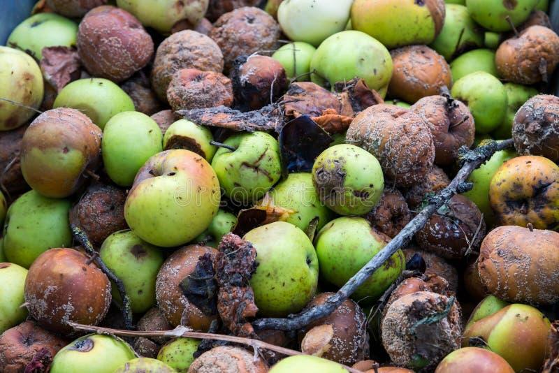 Un groupe de pommes putréfiées dans le jardin image libre de droits