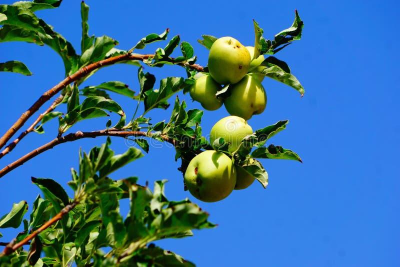 Un groupe de pommes sur un arbre image libre de droits