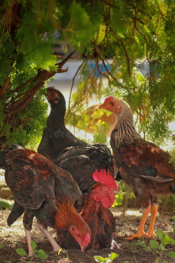 Un groupe de poulet sur le fond des arbres images stock