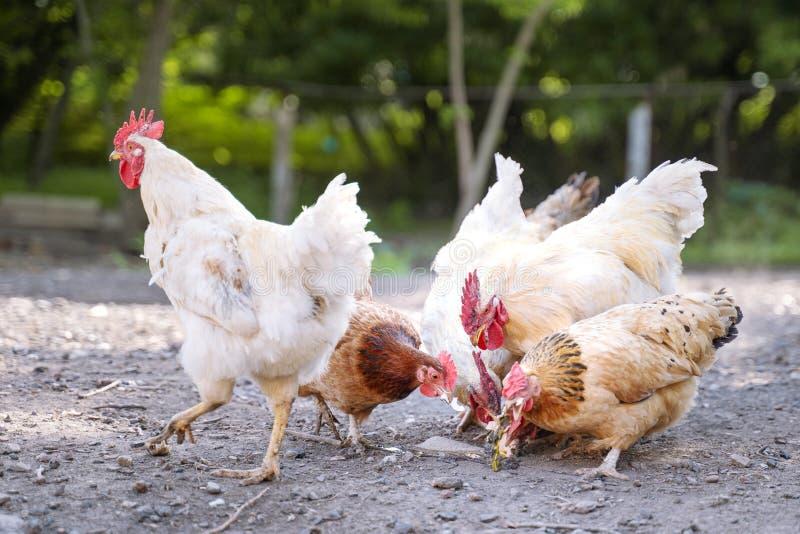 Un groupe de poulets mangeant du maïs dans la cour photos libres de droits