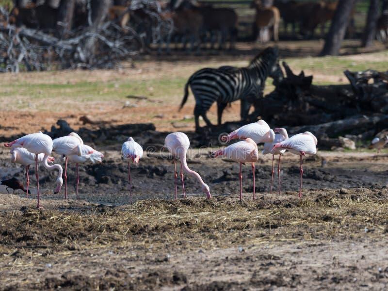 Un groupe de promenade rose de roseus de Phoenicopterus de flamants par le marais à la recherche de la nourriture photo stock