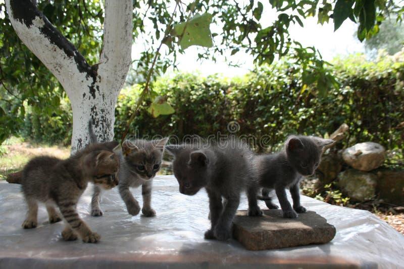 Un groupe de quatre petits chatons explorent soigneusement le monde autour de eux avec leurs yeux photo libre de droits