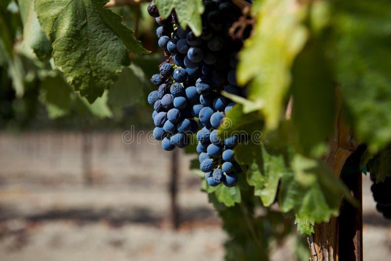 Un groupe de raisins de cuve à une vigne photographie stock