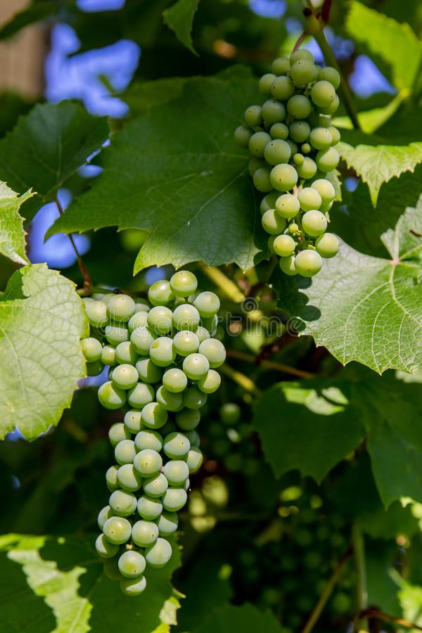 Un groupe de raisins verts image stock